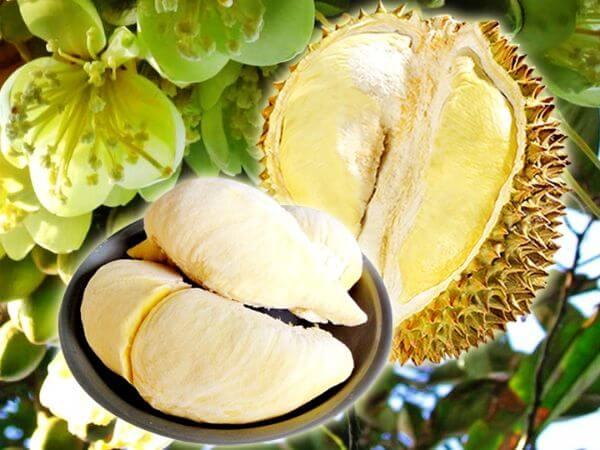Fresh frozen golden pillow durian imported from Thailand